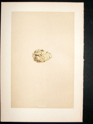 Antique Bird Egg Print 1875 Roseate Tern, Morris Hand Col
