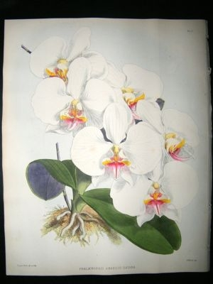 Antique Fitch And Warner Orchid Album: 1880's Phalaenopsis Amabilis Dayana 11. Hand Colo
