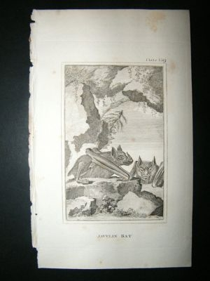 Antique Javelin Bat : 1812 Copper Plate, Buffon Print
