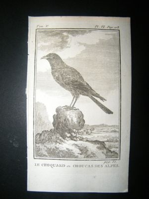 Bird Print: 1775 Alpine Chough, Buffon Copper Plate