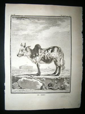 Antique Buffon: C1770 Zebu Cattle, Antique Print