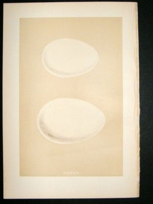 Antique Bird Egg Print 1875 Egyptian Goose, Morris Hand Col