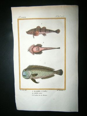 Antique Fish Print: 1805 Rasoir, Cotte etc, Hand Col, Latreille