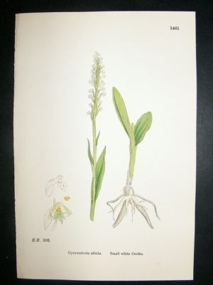 Antique Botanical Print 1899 Small White Orchis Orchid, Sowerby
