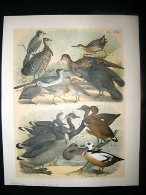 Antique Studer 1881 Folio Bird Print. Alaskan Gray Jay, Partridge, Grouse, etc