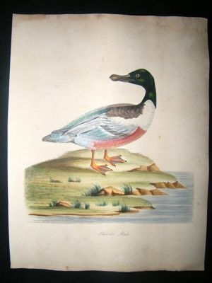 Antique William Hayes: 1817 Male Shoveler Duck, Hand Col