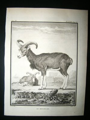 Antique Buffon: C1770 Big Horn Muffon Sheeps, Antique Print