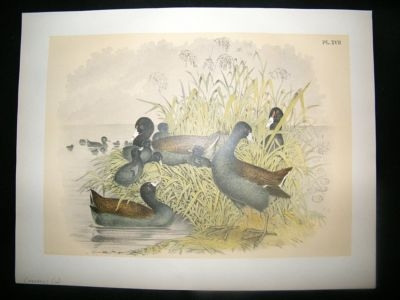 Antique Studer 1881 Folio Bird Print. Cinerous Coot