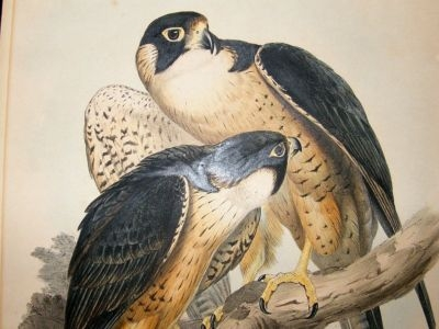 Gould Birds of Asia: C1860 Indian Peregrine Falcon