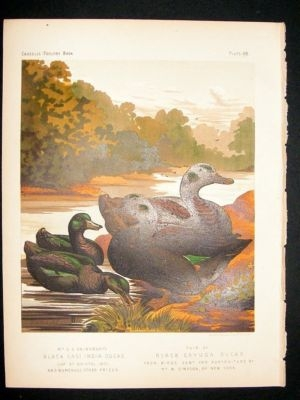 Bird Poultry Print: 1874 East India, Cayuga Ducks