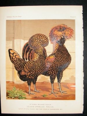 Bird Poultry Print: 1874 Gold Spangled Polish