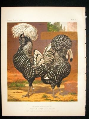 Bird Poultry Print: 1874 Silver Spangled Polish