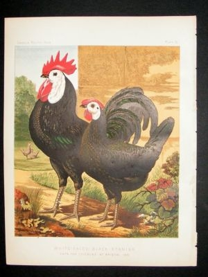 Antique Bird Poultry Print: 1874 White Faced Black Spanish