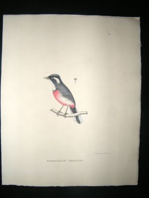 Bird Print: 1850 Red Breasted Chat, Hand Col