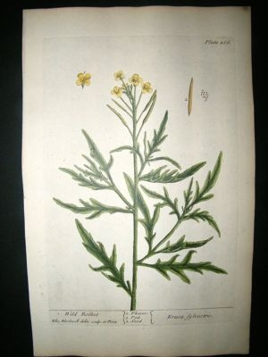 Blackwell:1737 Botanical Wild Rocket.  Hand Coloured.