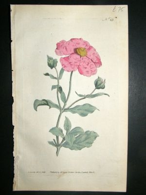 Botanical Print 1788 Hoary or Rose Cistus #43, Curtis h