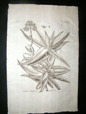 Dillenius 1774 Folio Botanical Print. Crassula 96