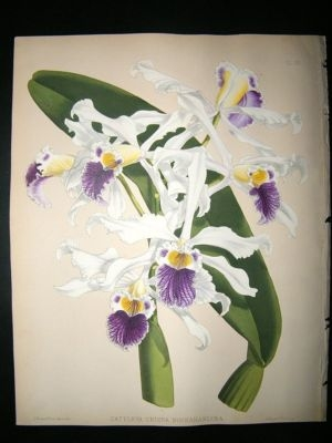 Fitch And Warner Orchid Album: 1880's Cattleya Crispa Buchananiana 81. Hand Colo