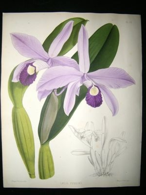 Fitch And Warner Orchid Album: 1880's Laelia Perrinii. Hand Coloured, Botanical.