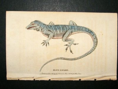 Antique Blue Lizard: 1800 Hand Colored Print