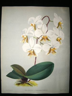 Antique Fitch And Warner Orchid Album: 1880's Phalaenopsis Stuartiana Nobilis 39. Hand C