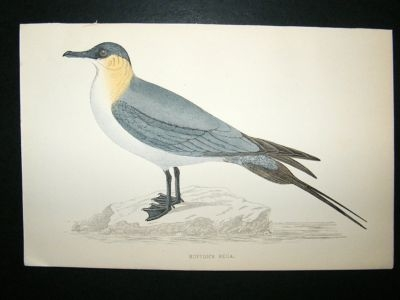 Antique Bird Print: 1867 Buffon's Skua, Morris, hand coloured