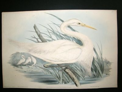 Antique Gould Bird of Australia: c1860 Plumed Egret.Folio h/col