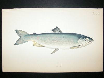 Antique Fish Print: 1869 Sewen, Couch