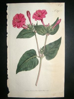 Antique Botanical Print 1797 Common marvel of Peru #371, Curtis