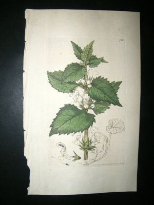 Antique Botanical Print: 1800 White Dead Nettle #768, Sowerby H