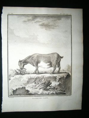 Antique Buffon: C1770 Dwarf Goat, Antique Print