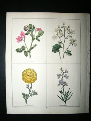 Antique Maund C1830 Rest-Harrow, Saxifrage, Ranunculus, Toad Flax 68. Hand Col Botanical
