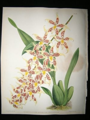 Antique Fitch And Warner Orchid Album: 1880's Odontogloss Hebraicum line Oligerum 85, Bo
