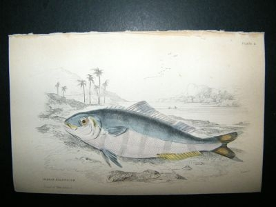 Antique Jardine: C1840 India Pilot Fish, Hand Col Print