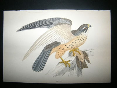 Antique Bird Print: 1867 Hobby, Morris Hand Col