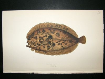 Fish Print: 1869 Bloch's Topknot, Couch