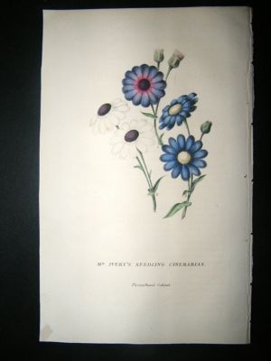 Antique Botanical Print: 1845 Mr Ivery's Seedling Cinerarias