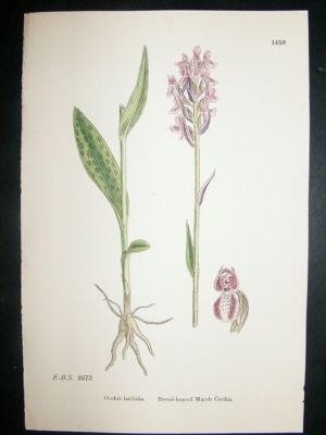 Antique Botanical Print 1899 Broad-Leaved Marsh Orchis Orchid,