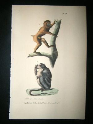 Antique Buffon: 1830 Hand Coloured Print. Baboon, Long Snouted