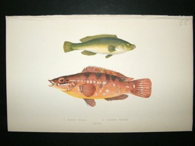 Fish Print: 1869 Green Wrass & Comber Wrass, Couch