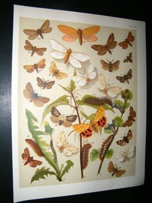 Antique Kirby 1907 Actiidae, Tiger, Swift Moths 25. Antique Print