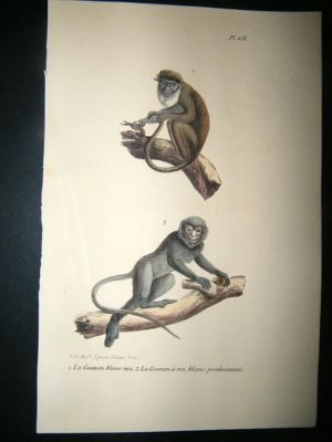 Antique Buffon: 1830 Hand Coloured Print. White nosed Monkey pl