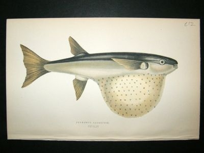 Antique Fish Print: 1869 Pennant's Globefish, Couch