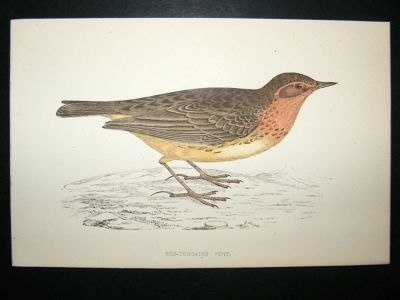 Antique Bird Print: 1867 Red-Throated Pipit, Morris, hand coloured