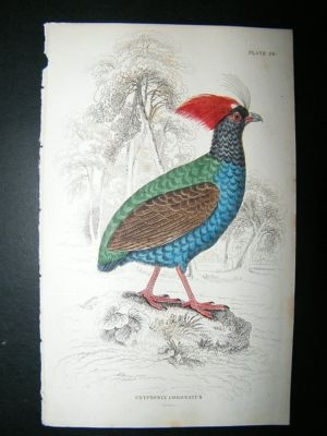 Antique Bird Print: 1834 Crowned Cryptonix, Jardine Hand Col
