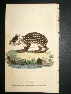 Antique Paca: 1800 Hand Colored Print