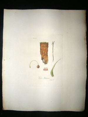 Antique Botanical Print: 1818 Mosses, Weissia Martiana, Hooker,