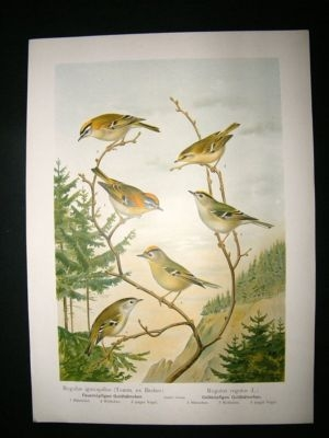 Antique Bird Print: 1890's Goldcrest, Folio