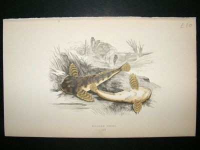 Antique Fish Print: 1869 Miller's Thumb, Couch