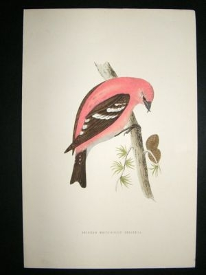 Antique Bird Print: 1891 American White-Winged Crossbill, Morris, hand coloured